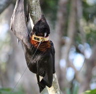 Flying fox fitted with a satellite tracker